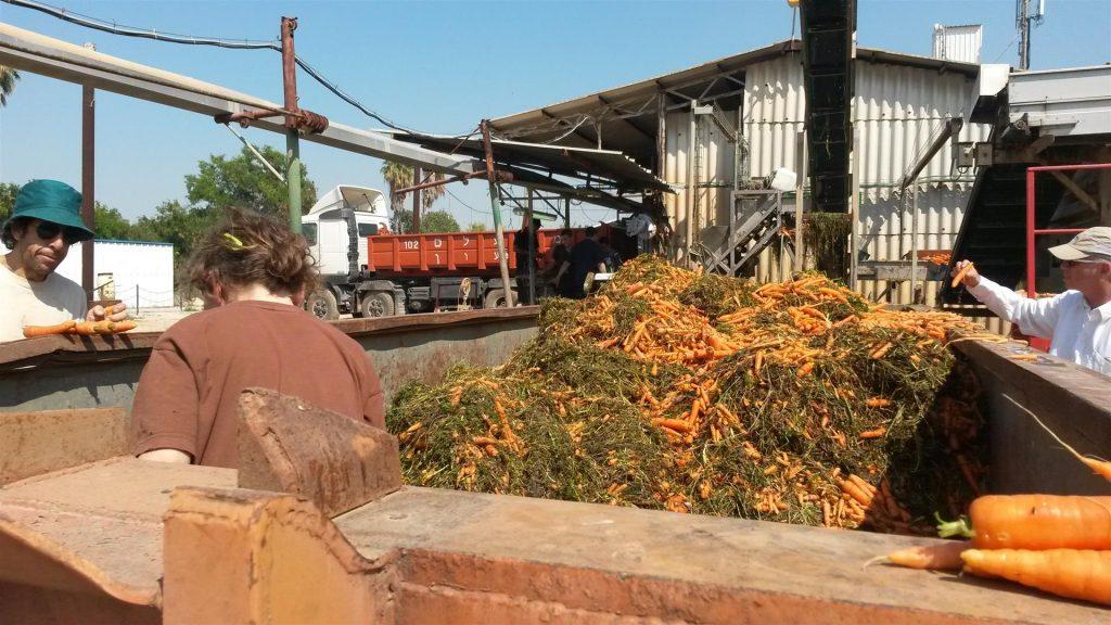 מוכנת שטיפת גזר טרי ואורגני ישר מן השדה