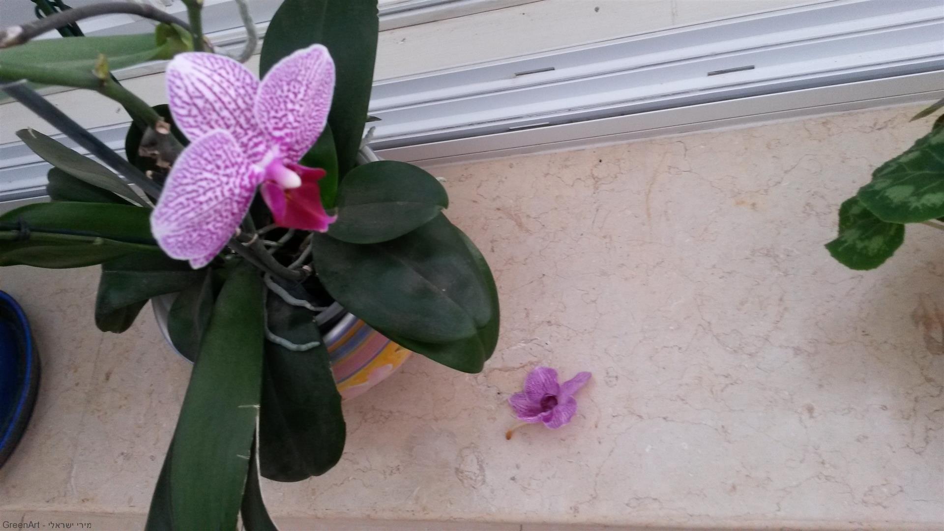יוני 2014 החלה עונת הנשירה והפרחים הולכים לייבוש בין הספרים