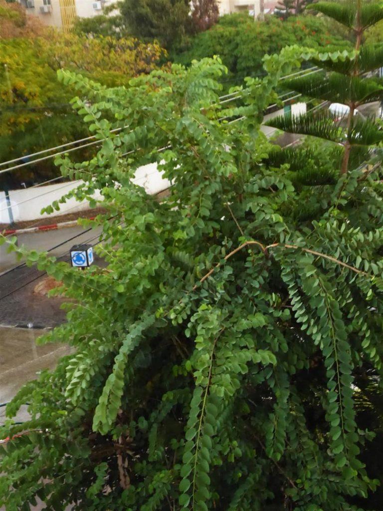 עץ הבוהיניה שלי נהנה מהיורה וממי הגשם הראשון באוקטובר 2017