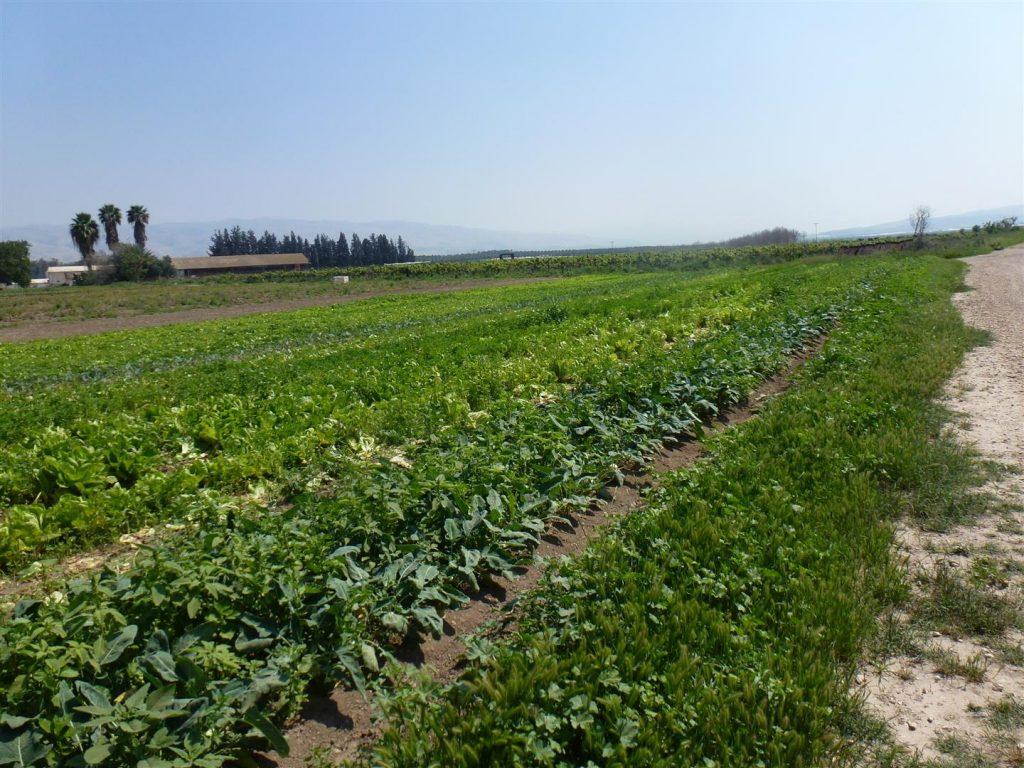 גידולים חקלאיים אורגננים עם הדברה ביולוגית בשדה אליהו