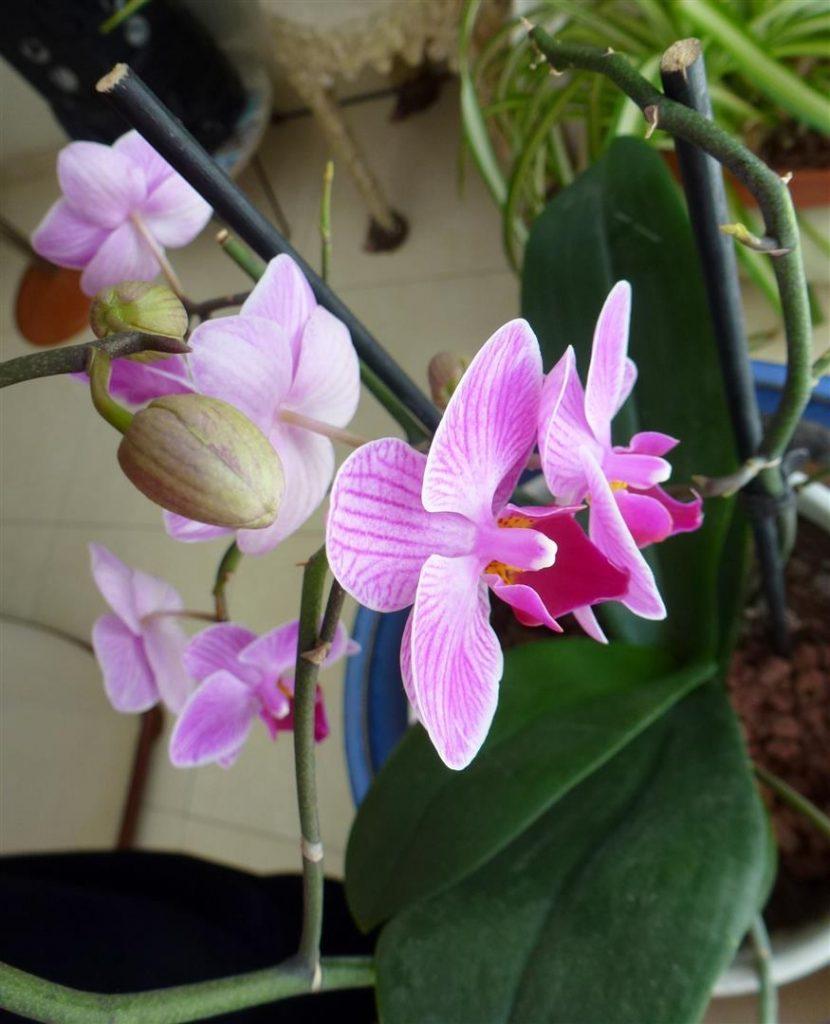 אפריל 2015 תפרחת מחודשת של פרחי הסחלב המרהיבים