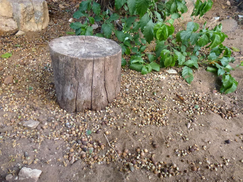 גזע עץ נטוש שמצאתי בגן האקולוגי של האמנית יעל פרויליך שנפרס לפרוסות ושולב ביצירה