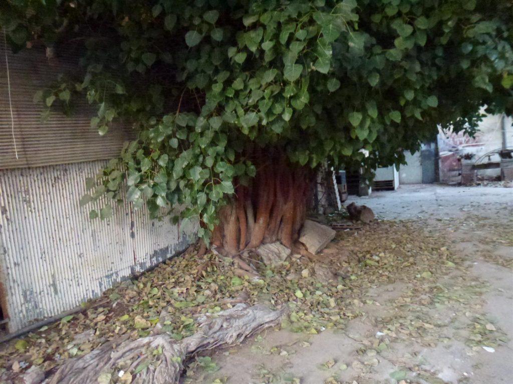 בכניסה לסטודיו קנטי עץ פיקוס הודי עתיק- חיבוק ירוק גם לעץ