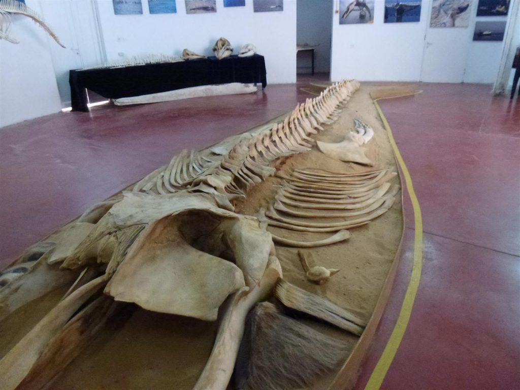 שלדים של יונקים ימיים במרכז חקר ומידע ליונקים הימיים- מחמלי באשדוד