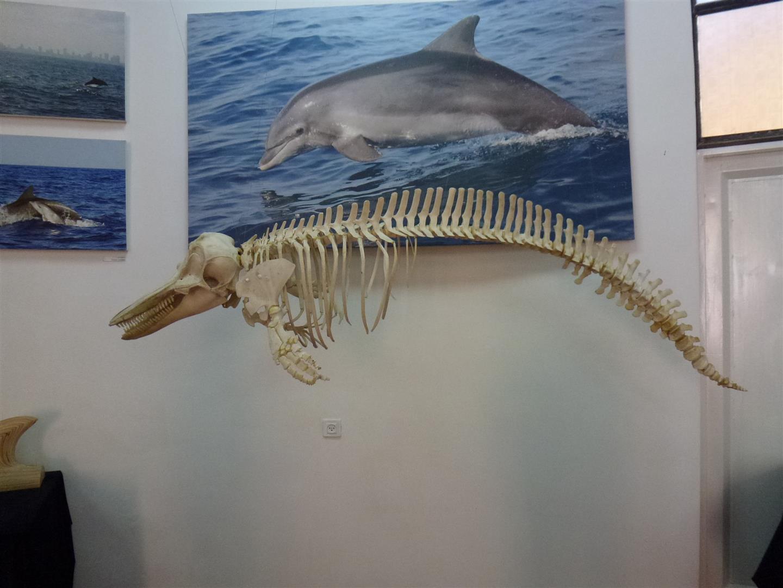 שלד של דולפין במרכז החקר והמידע ליונקים הימיים באשדוד