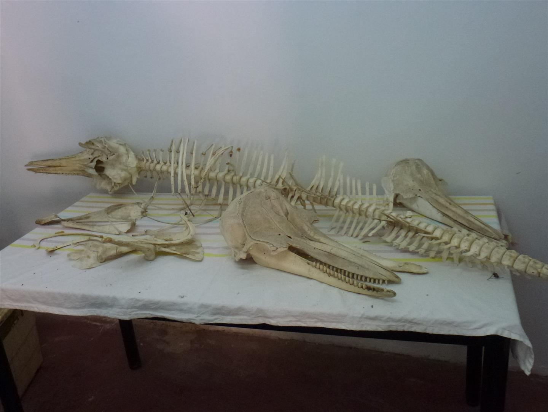 שלדים של יונקים ימיים לצורך מחקר, מידע וסיוע ליונקים הימיים