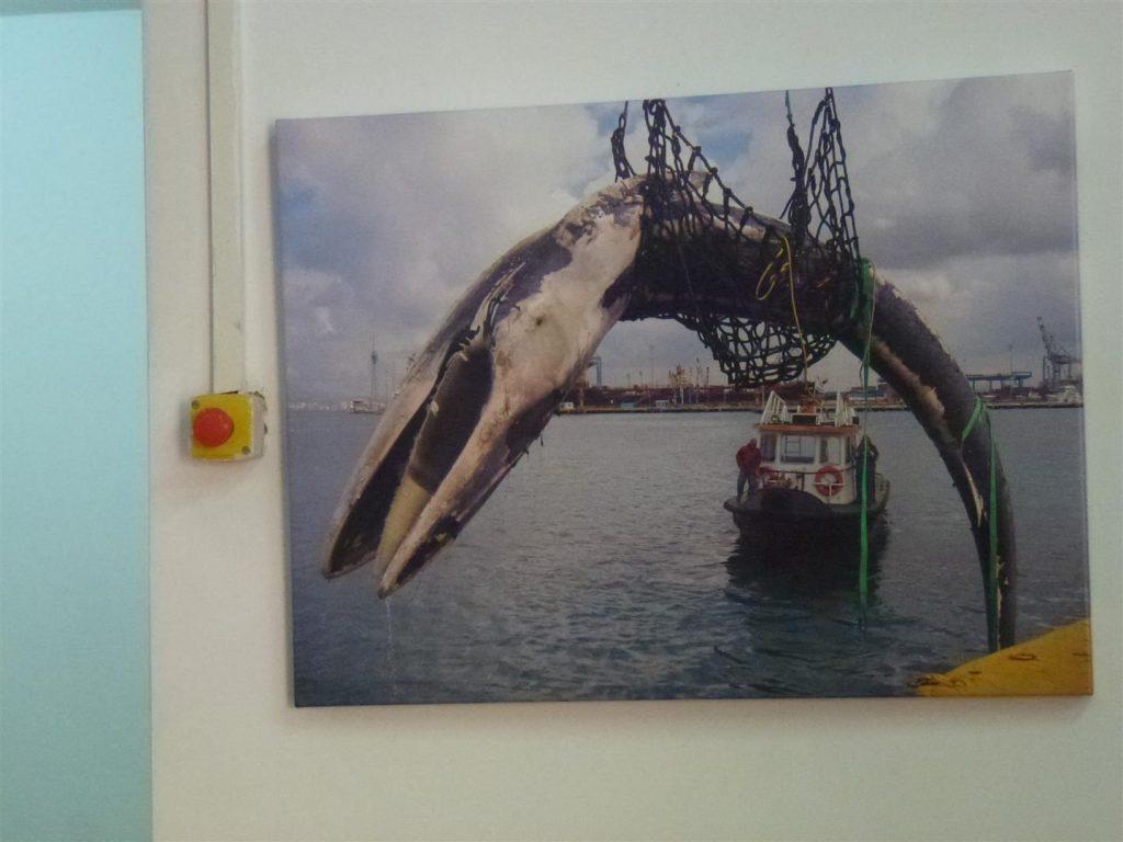 יונק ימי הנתפס ברשת דייגים - במרכז המבקרים מחמלי באשדוד