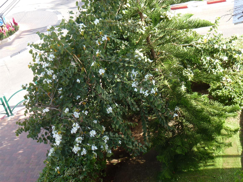 אהבה בין עץ האראוקריה לעץ הבוהיניה העוטפת את שניהם בפריחה לבנה מרהיבה