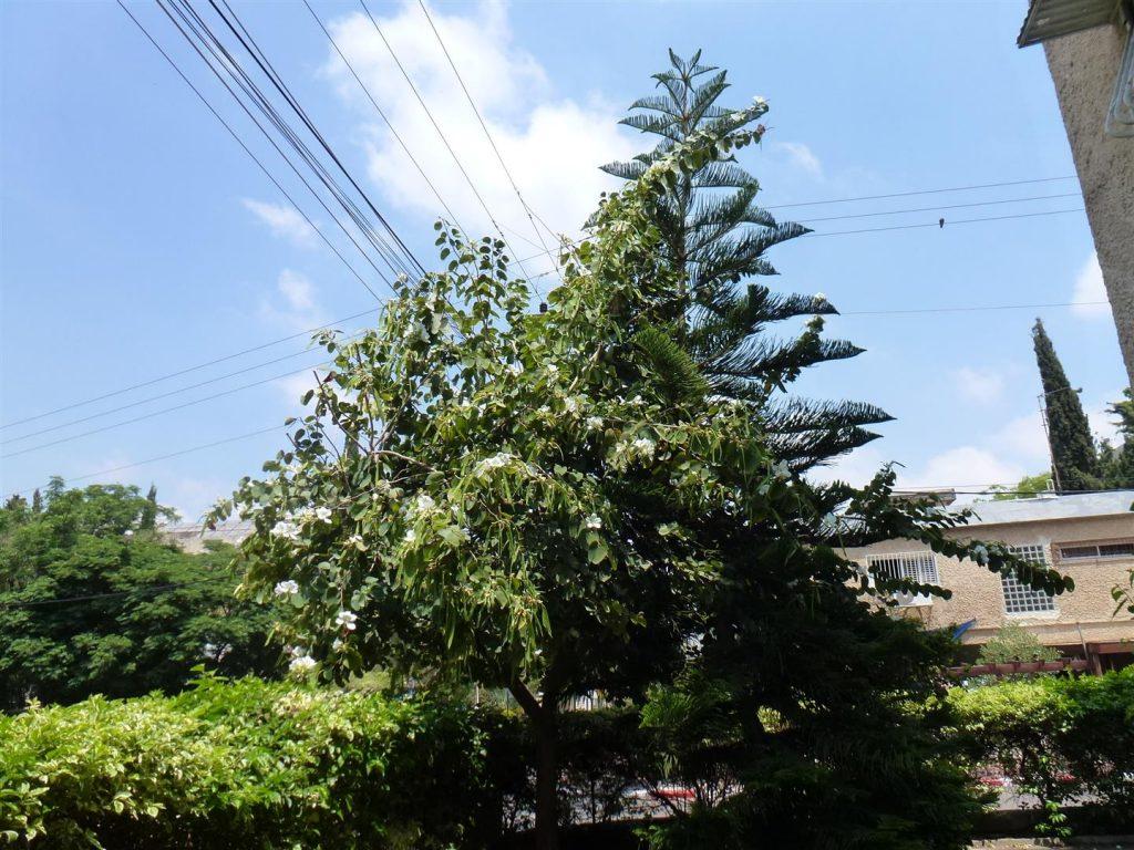העץ שלי בן 7 שנים מכה שורשים באדמת רעננה ושורשי אהבה לסביבה