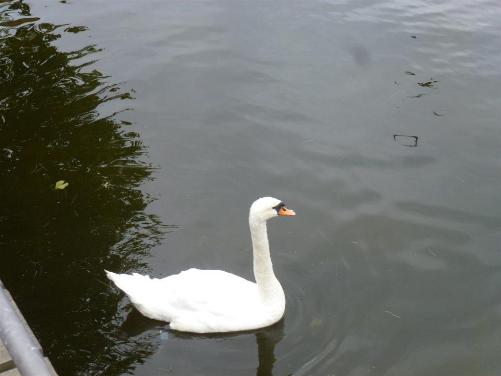 ברבורים לבנים שטים באגם  אוטראסלב מוסה  הירוק