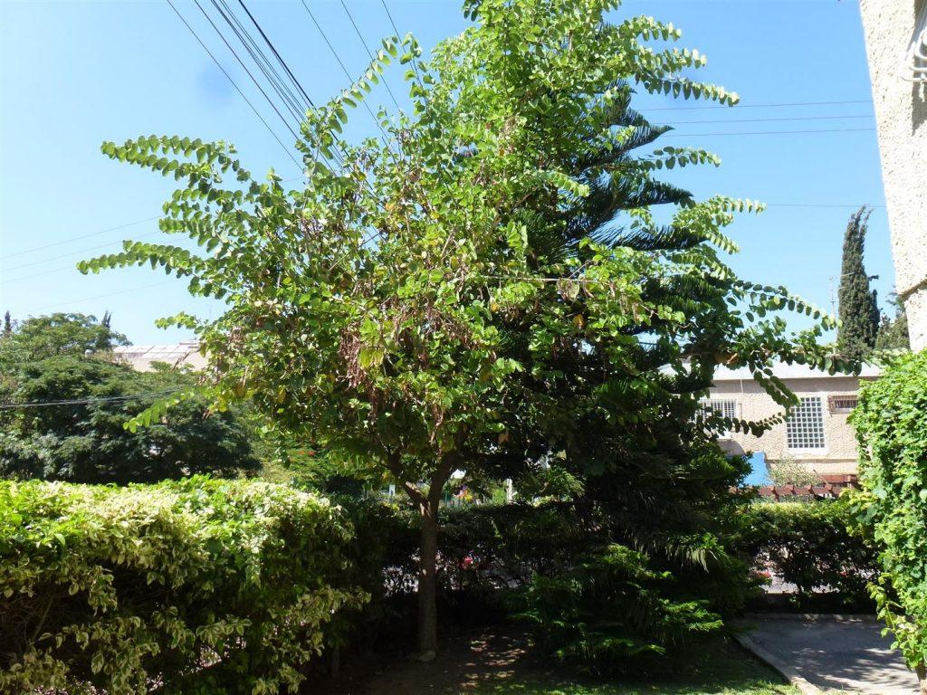 הבוהיניה מצילה את המדרכה ובשלהי הקיץ מחכים התרמילים להתפזרות הזרעים