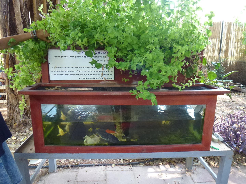 מערכת האקוופוניקה בגינה האקולוגיח