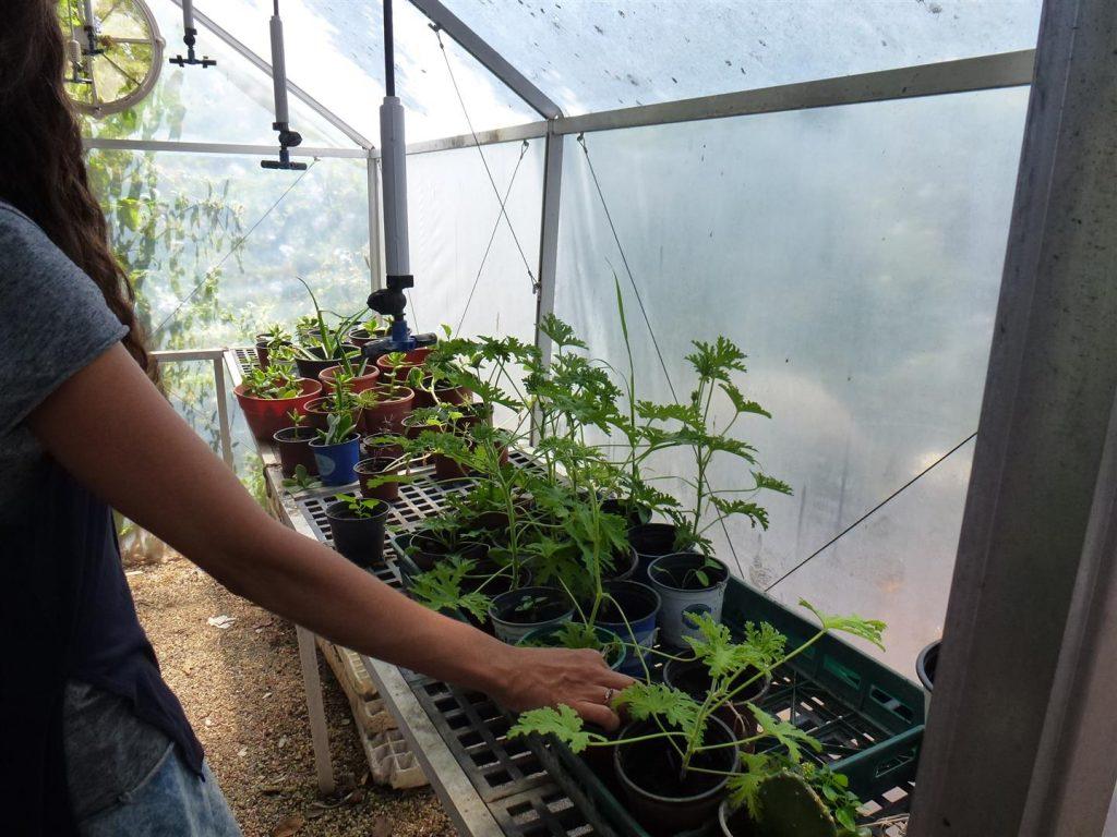 גידולי צמחים בחממה בגינה האקולוגית של סודות ירוקים