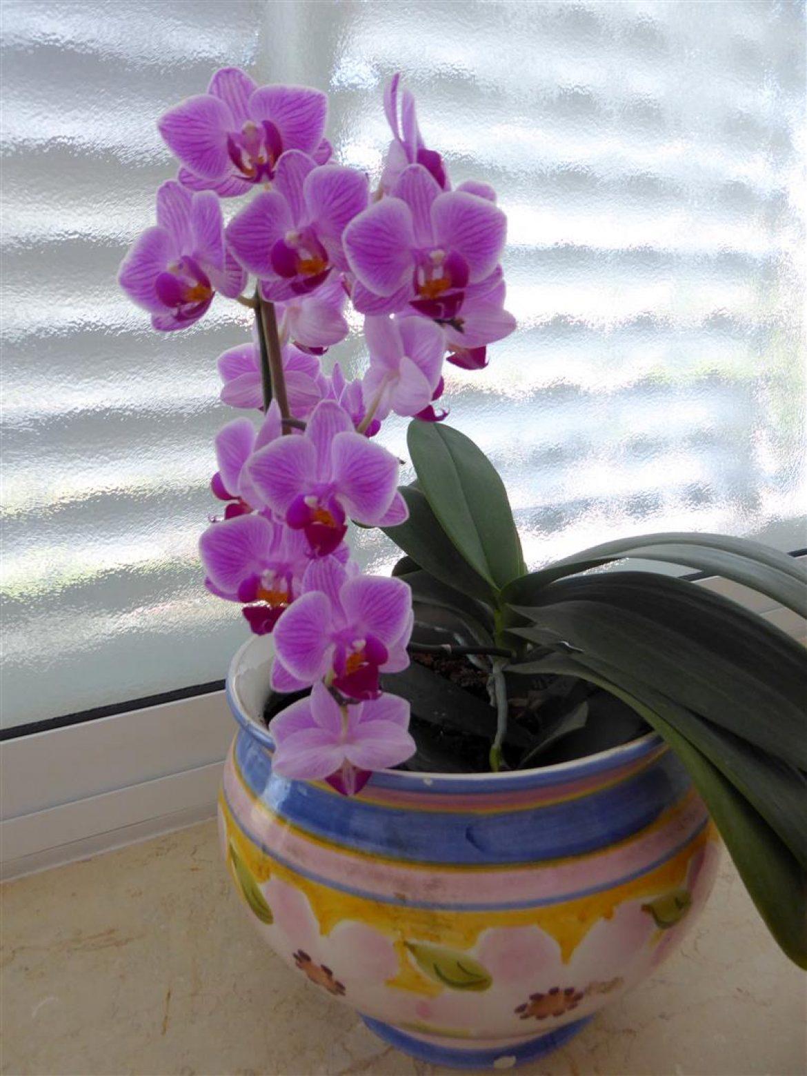 מעקב אחר פריחתם של פרחי הסחלב שלי – שימוש חוזר גם מפרחי הסחלבים